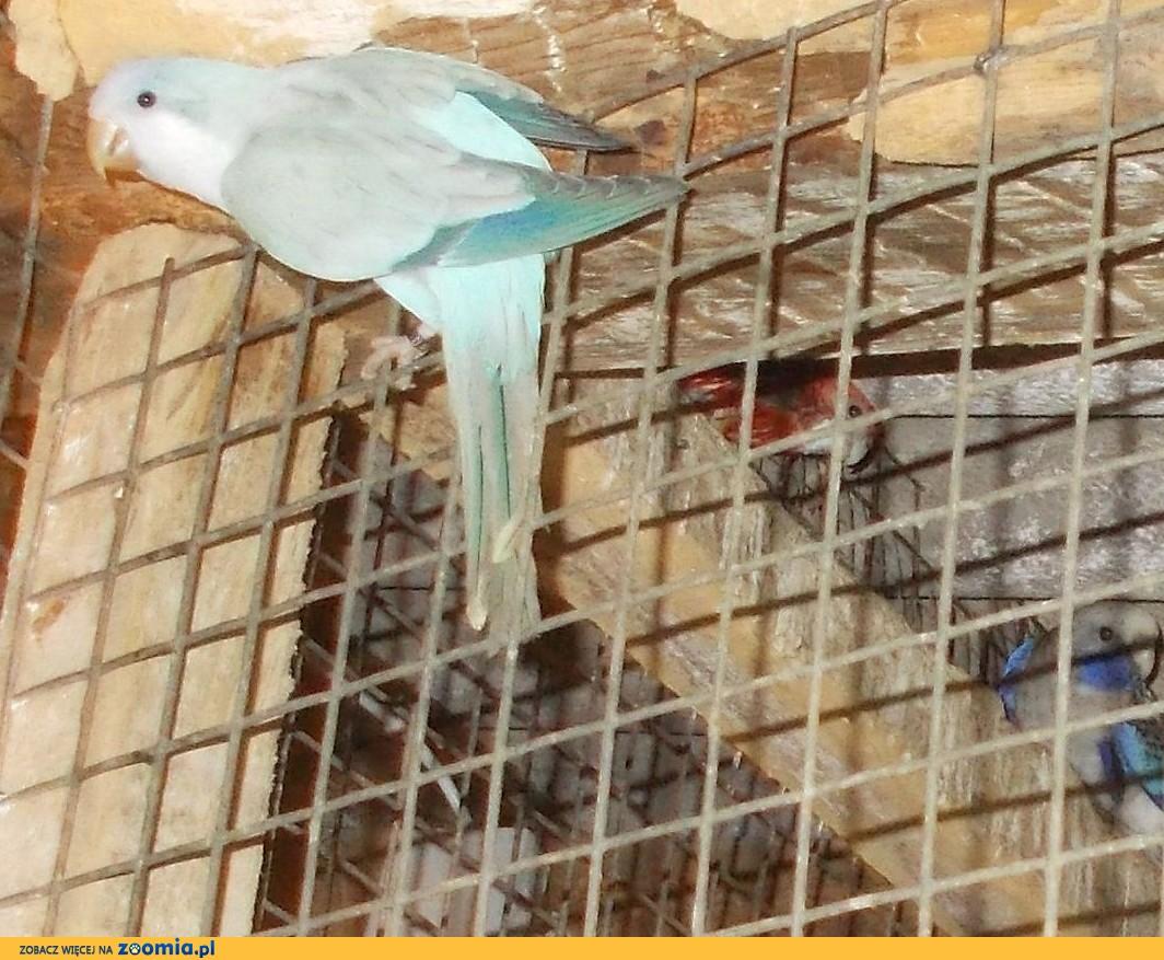 mnicha nizinna opal niebieski