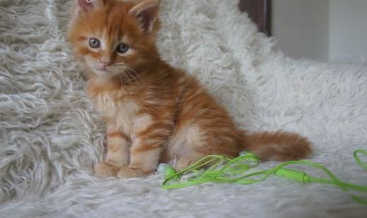 Ruda Kotka Maine Coon Rodowód Koty Maine Coon Cała Polska Koty