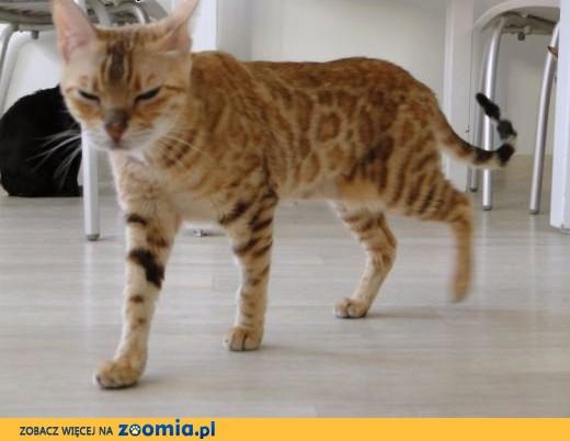 Kot bengalski - mały lampart,  wielkopolskie Konin