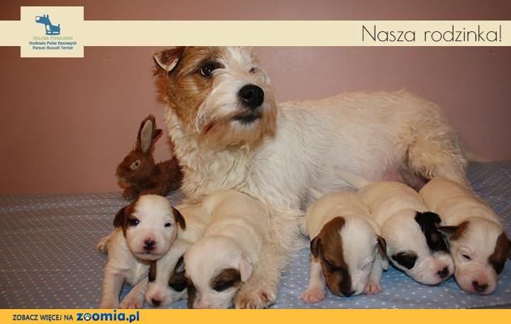 Szczeniaki Parson Russell Terrier