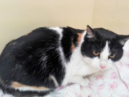Basiulka, piękna TRICOLORKA, proludzka koteczka do pokochania!