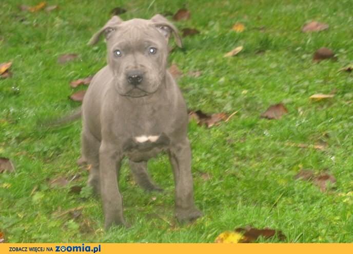 Amstaff,Amstaf,Amstafy,American Staffordshire Terrier-suczka blue