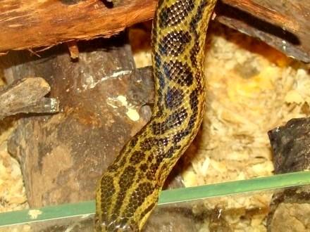 ANAKONDA ŻÓŁTA ( Eunectes notaeus ) - Sklep Zoologiczny ZooWitek