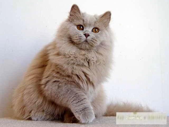 Nowość Kot Brytyjski Długowłosy Cena RM67