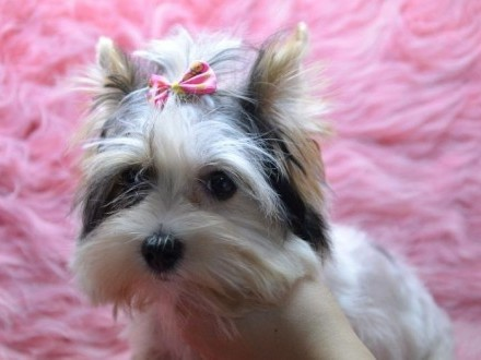 Mini Biewer Yorkshire Terrier piesek
