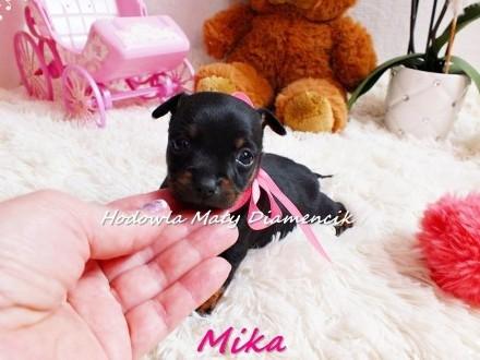Pinczer miniaturowy suczka Mika (tzw ratlerek)^^ +Rodowód+ MikroCzip+Wyprawka