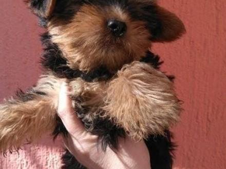 Yorkshire Terrier  rodowodowe