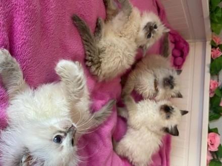 Zarejestrowane kocięta rasy Ragdoll