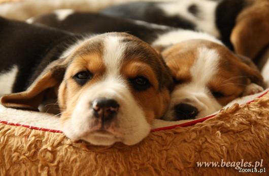 Rodowód.Beagle - szczenięta od zoopsychologa