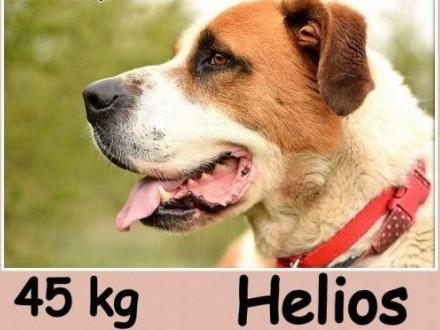 Bernardyn mix  duży 40 kg piękny młody kontaktowy pies HELIOSAdopcja   małopolskie Kraków