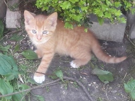 oddam koty   kocięta  kotki   śląskie Tychy