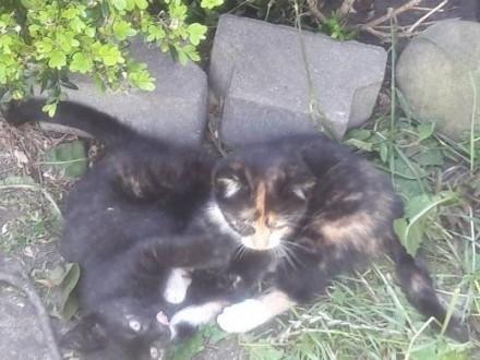 oddam koty , kocięta, kotki,  śląskie Tychy