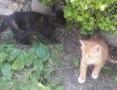 'oddam koty , kocięta, kotki,  śląskie Tychy