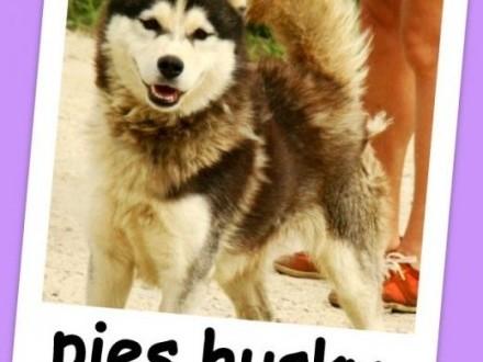Piękny husky 2 lata przyjacielski towarzyski pies BIAŁY KIEŁAdopcja   dolnośląskie Wrocław