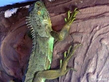 Legwan zielony Madagaskar ZOO