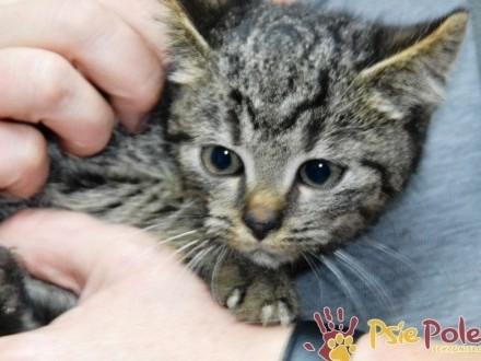 HUANEK-super śliczny  miły  kochany bury kociak-szukamy DOMU