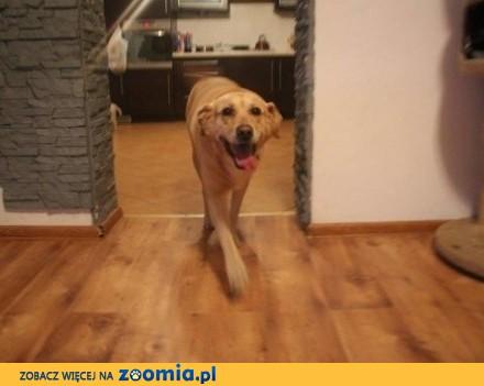 Kochany Szafir w typie labradora do adopcji_