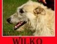 Wilczarz mix,zrównoważony,łagodny,spokojny pies WILKO.Adopcja,  małopolskie Kraków