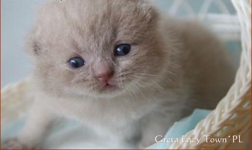 Liliowa kotka brytyjska ;#8211; kocięta brytyjskie - rodowód WCF   mazowieckie Grójec