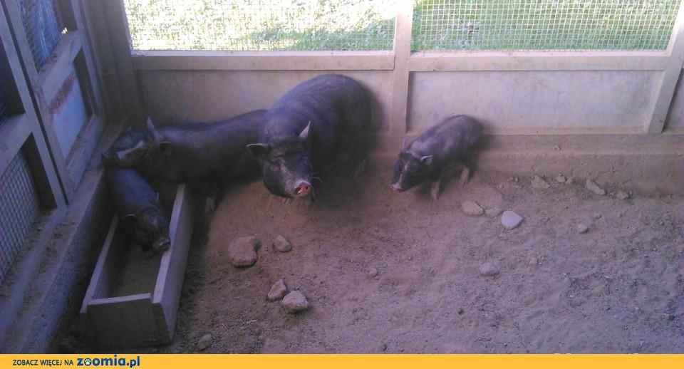 Mini Świnki