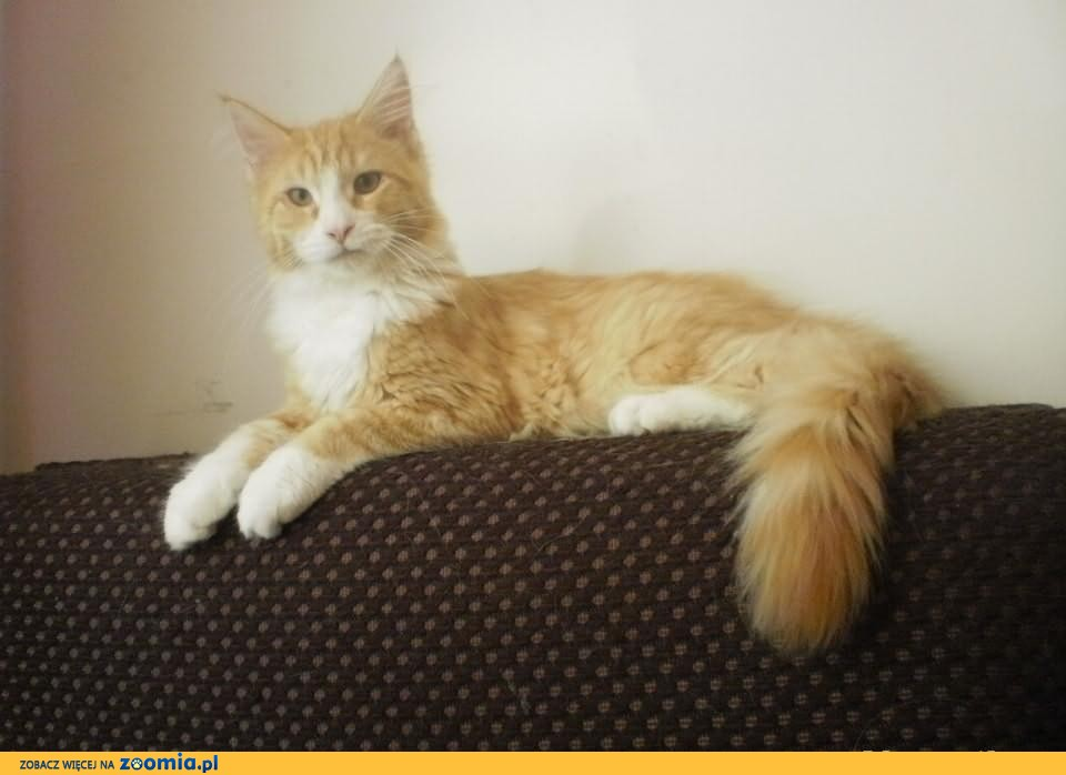 Pięka ruda kocica maine coon              Rodowód