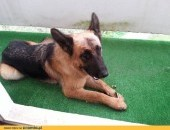 Atma-psia piękność w typie owczarka szuka domu !!!