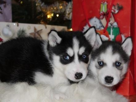 Szczenięta Siberian Husky Niebieskookie