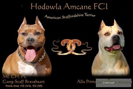 American Staffordshire Terrier amstaff - rodowód