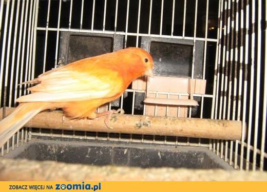 sprzedam samce kanarka,  Kanarki cała Polska