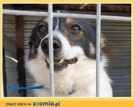 Przesympatyczny mały psiak WOJTUŚ towarzyski kontaktowy szczepiony_Adopcja_