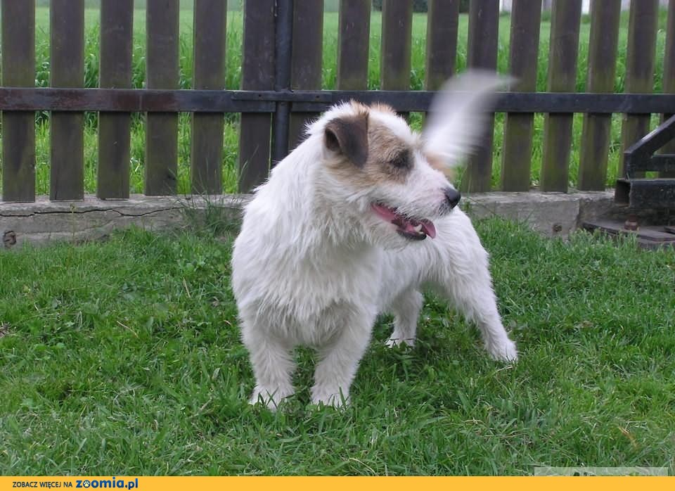 Jack russell terrier FCI REPRODUKTOR FCI