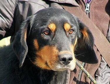 BREGO piękny  energiczny pies w typie gończy PILNIE potrzebuje domu