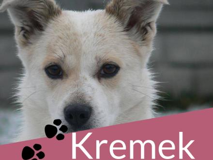 Kremuś-delikatny  niepogodzony ze swoim losem psiak szuka domu