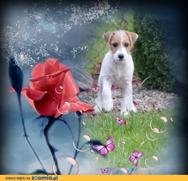 Jack Russell Terrier z metryczkami ZKwP /FCI/