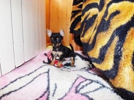 Ratlerek miniaturka piesek chłopczyk w rozmiarze XXXS! Umowa Adopcyjna