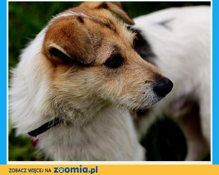 Przyjacielski  wesoły  w typie teriera łagodny psiak EDI_Adopcja