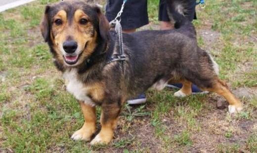 Mały pies JAMI w typie jamnika w schronisku - wychowany w domu   śląskie Katowice