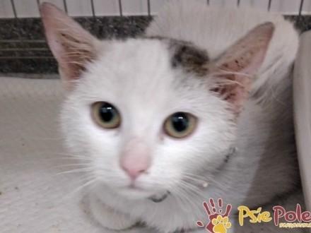 FARBECZKA-Mała śliczna biała kicia szuka troskliwego domu  adopcja