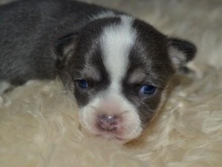 Chihuahua Dwie Piękne Sunie koloru Niebieska I Liliowa