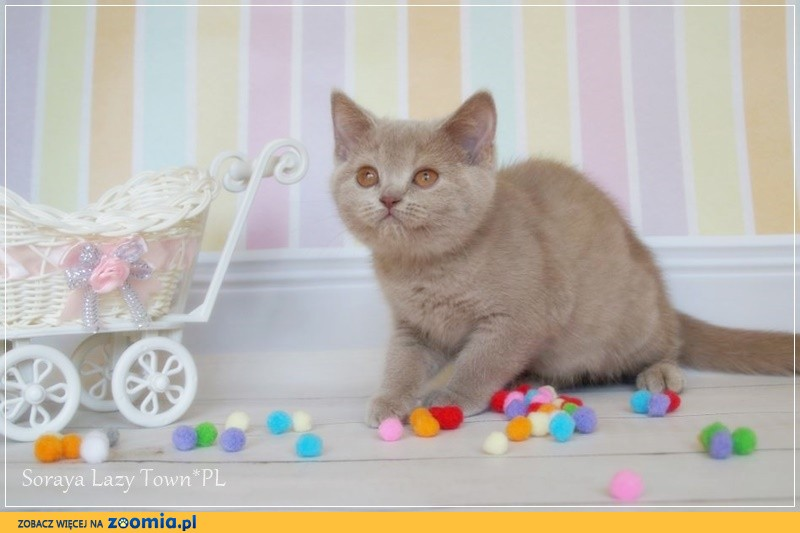 Kotka brytyjska kocięta brytyjskie rodowód WCF