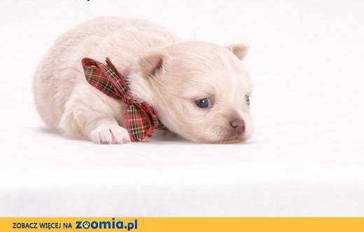 Chihuahua Długowłosa - Kremowa,  mazowieckie Grodzisk Mazowiecki