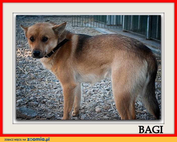 Średni 10 kg,młody 2 lata,przytulaśny,grzeczny,zaszczepiony piesek BAGI_Adopcja_