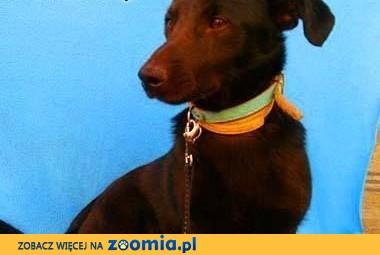 BĄBEL - piękny, 1,5 roczny 8 kg psiak szuka domu,  mazowieckie Warszawa