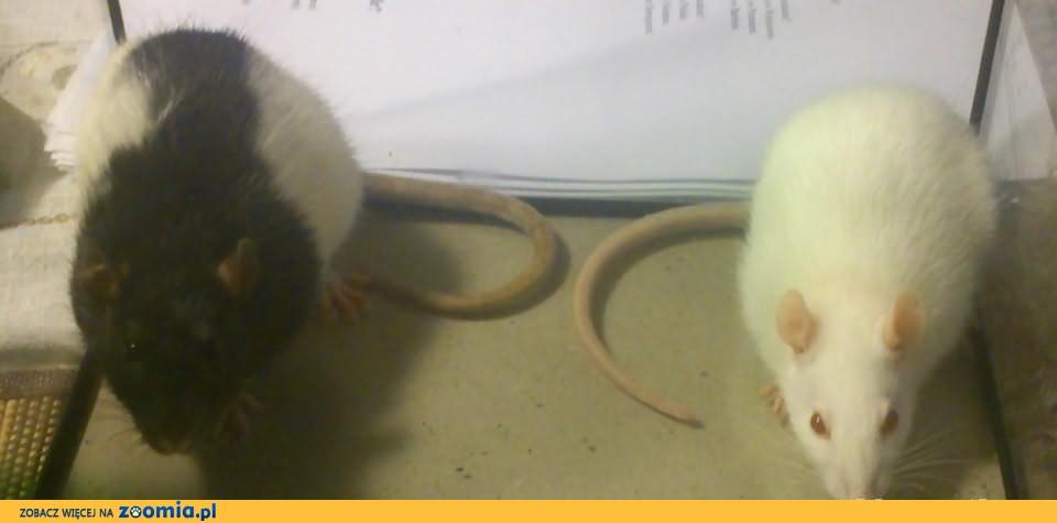 szczur szczury