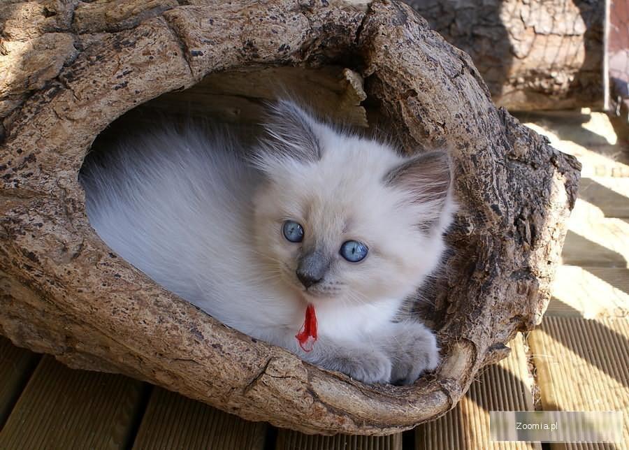Piękne kociaki Neva Masquerade