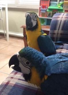 Niebieskie i złote papugi Ara mężczyzna i kobieta skontaktuj