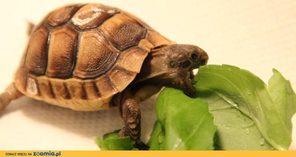 Żółw Grecki - młode 2014