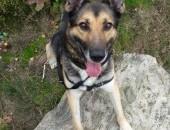 Michaś - przesympatyczny pies w typie owczarka szuka domu