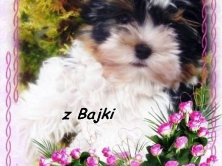 Miki Boy - Cudny Mini chłopczyk York Biewer z Bajki    Yorki cała Polska
