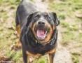 Czesiu – rottweiler, czekający na nowego pana